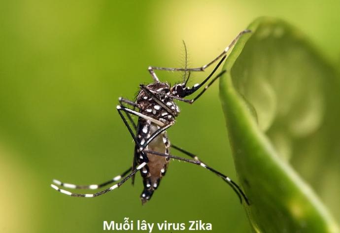 virus zika la gi cach phong tranh zika nhu the nao 2