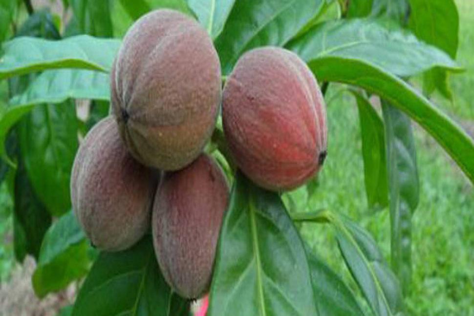 Phát hiện loại trái cây điều trị ung thư